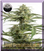 DinaFem Auto Critical Cheese Feminised 5 Seeds